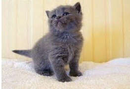 Cute and lovely british short hair kittens for adoption.