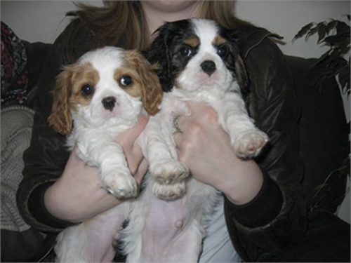 Cavalier King Charles Dogs For Sale In Ireland