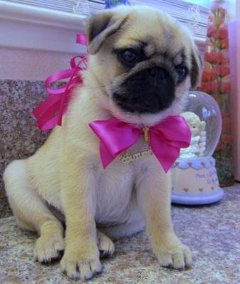Adorable male and female pug carlino  baby for free adoption