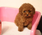 Red Poodle for sale