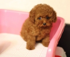 breeder french Poodle