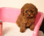 where buy a Mini french Poodle