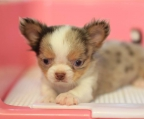 pups chihuahua long hair for sale