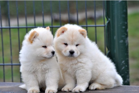 Lovely Chow chow puppies for adoption to any lovely Home available.