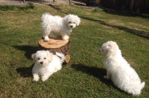 Beautiful Bichion Frise puppys ready now