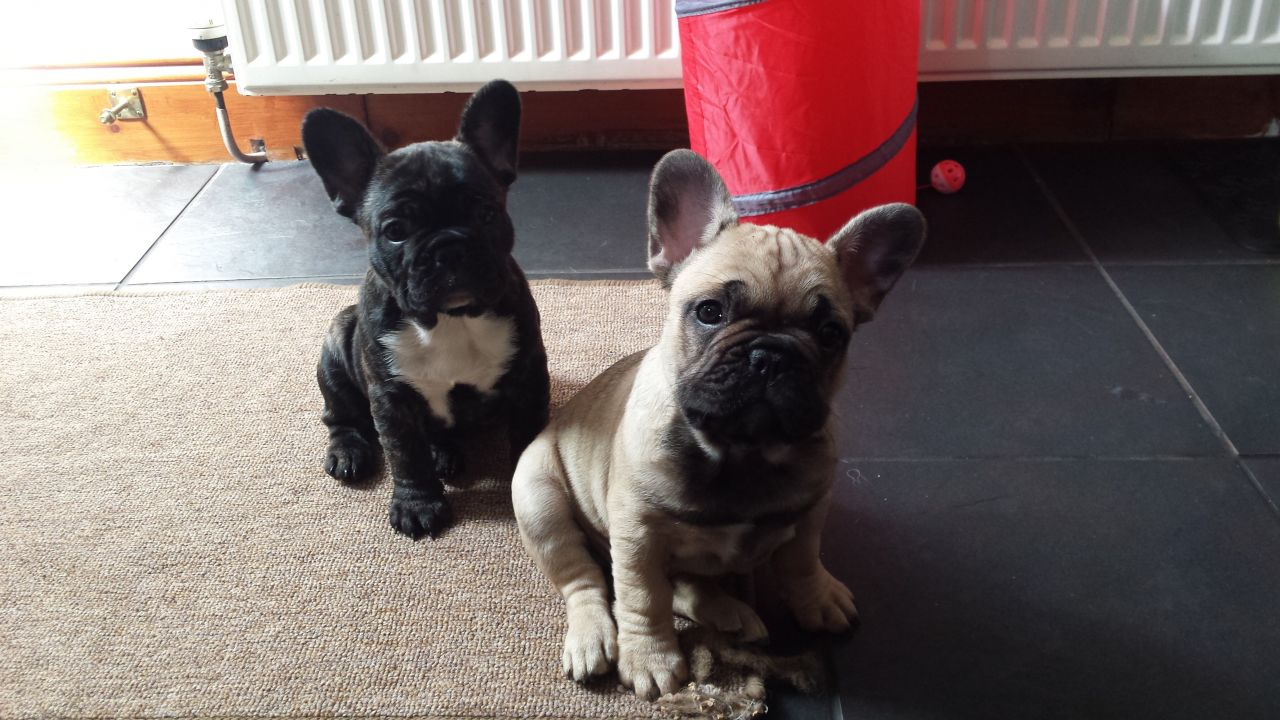 Beautiful kc registered French bulldog puppies