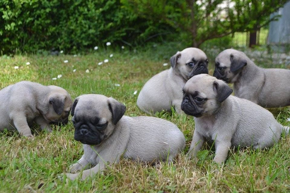 Beautiful Kc Reg Pug Puppies Ready Now