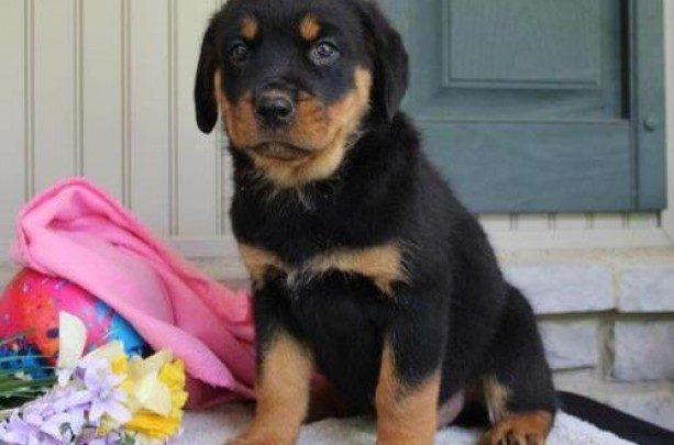 Gorgeous litter of quality Rottweiler Puppies for sale. KC