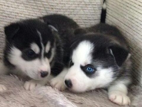 Amazing Pomsky Puppies For Sale