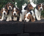 Breeder beagles dog