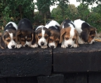 where buy a puppy beagle