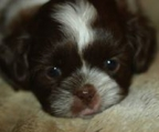 8 weeks old male & Female. 8 weeks old Shih Tzu PUPPIES