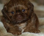 2 females & 1 Male Pure Breed Shih Tzu puppy′s