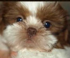 Shih tzu fluffy little puppy