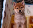 Shiba Inu puppies / tend to exhibit an independent nature