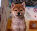 Absolutely adorable and well mannered shiba inu
