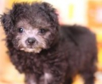 AKC mini poodle puppies for sale