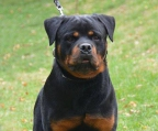 Stunning Rottweiler for sale