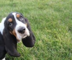Basset Hound AKC 2 month old Female!