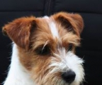 Lost Jack Russell in Ireland