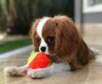 cavalier king charles young female