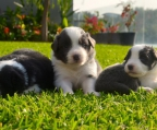 Purebred border Collie puppies.2 males