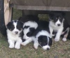 We have 2 males 3 Females Border Collie