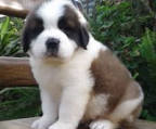 st bernard for sale