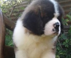 st bernard pups, Champion and health tested lines