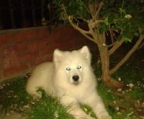 We are taking reservations samoyed puppies