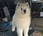 samoyed female for sale