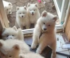 samoyed breeder ireland