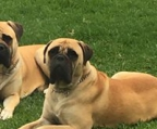 bullmastiff Red brindle,health certificate, for sale