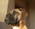 Lovely Bullmastiff Pups, Champion Parents