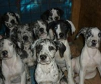 Beautiful AKC Champion Great Dane. Harlequin & Mantle