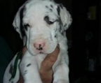 Great Dane puppies, Mother was a merle