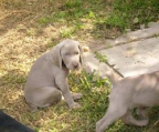 Weimaraner Puppies and Dogs for Sale