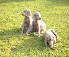 We have 5 beautiful weimaraner pups for sale