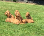 Breeder Cocker Spaniel sale
