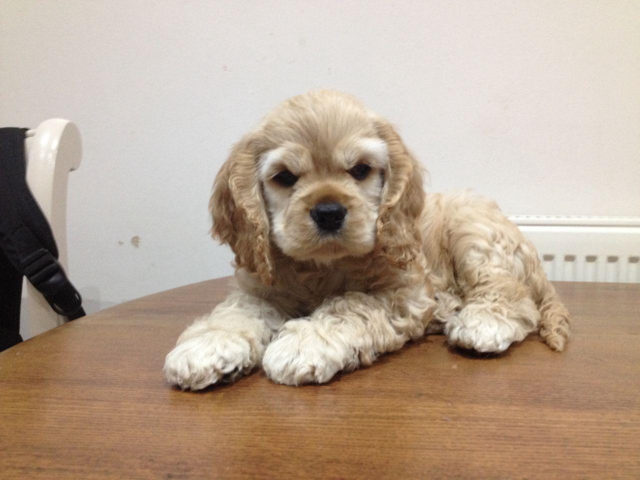 Cocker Spaniel Dog For Sale In Mumbai