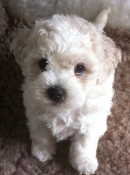 Pedigree Male Bichon Frise For Sale