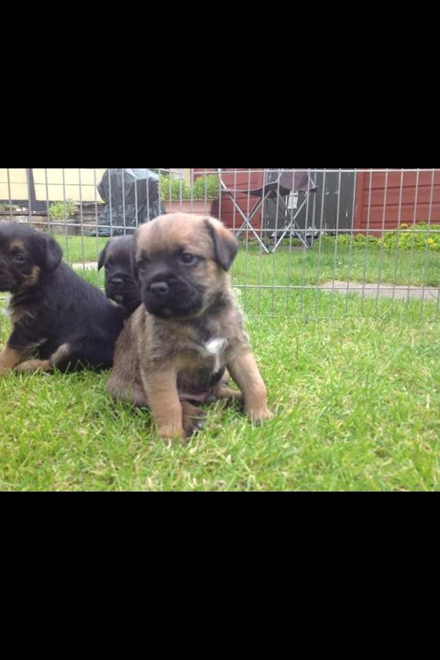 Border Terriers Puppies For Sale