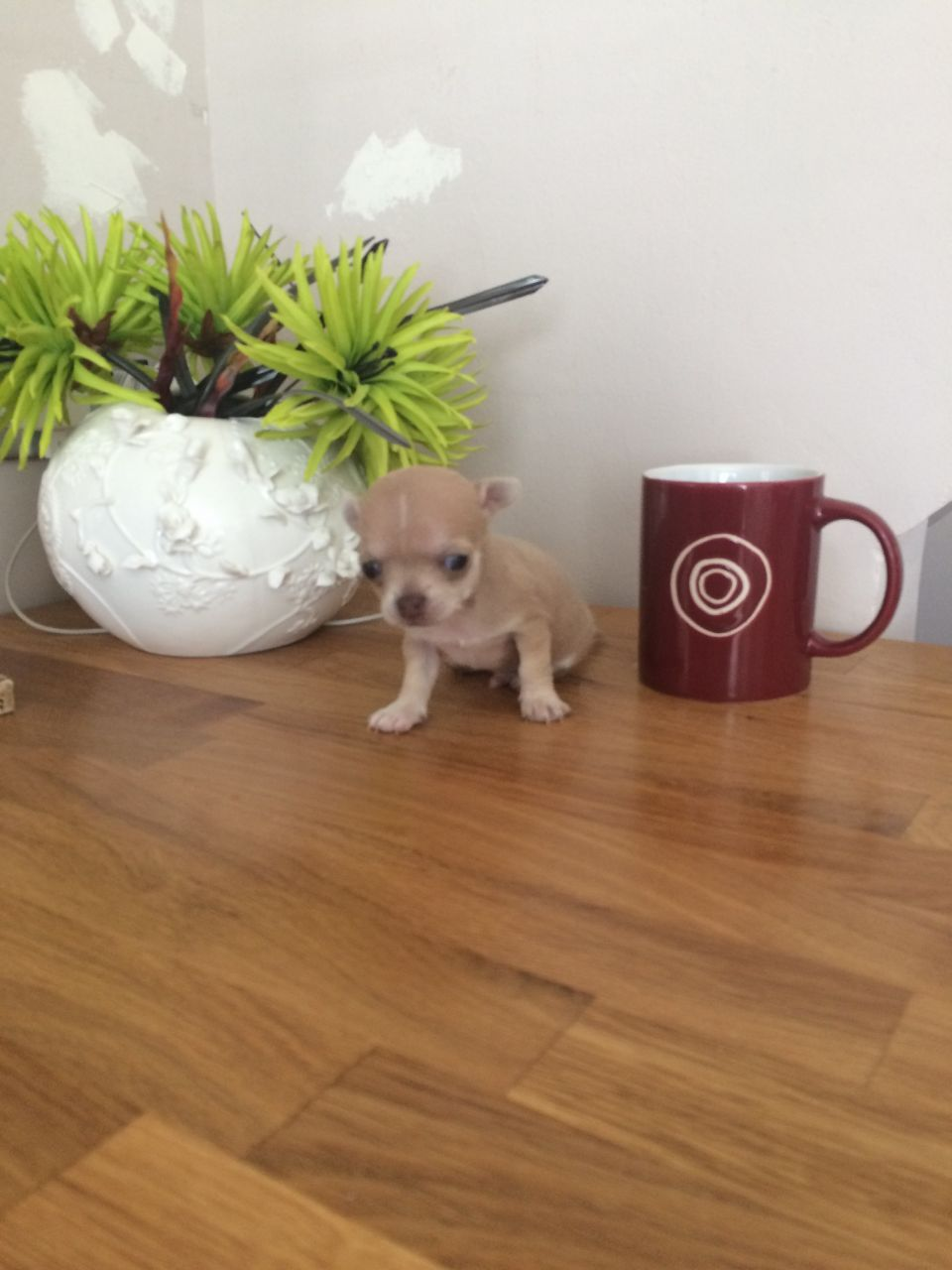Beautiful Teacup Chihuahua Puppies for sale