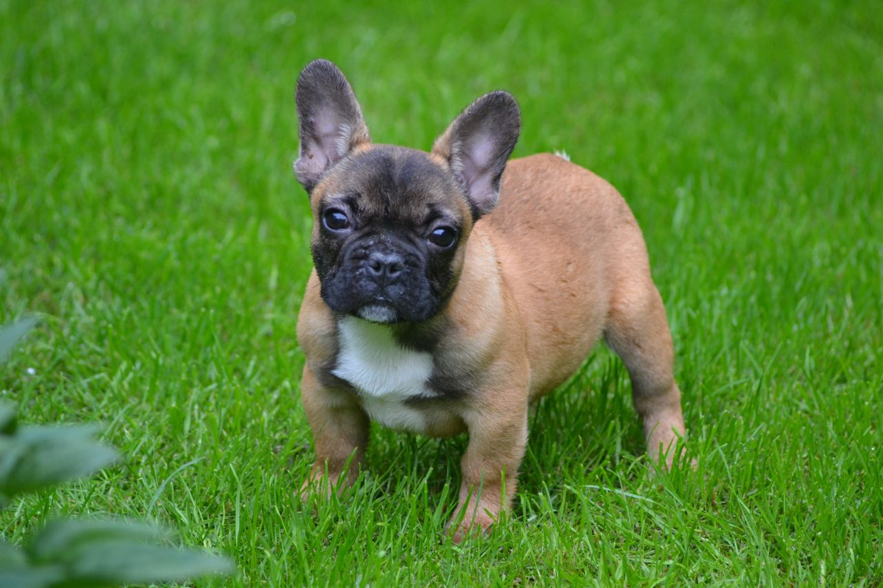 Quality French Bulldog Pup Ready Now