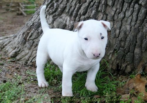 Male and female bull terrier puppies for adoption
