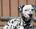 Buy Dalmatian Puppies