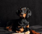 Doberrman for sale