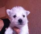 west highland white terrier pup price