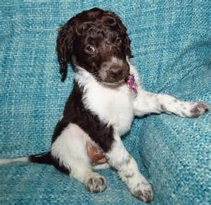 lovely Irish Water Spaniel puppies