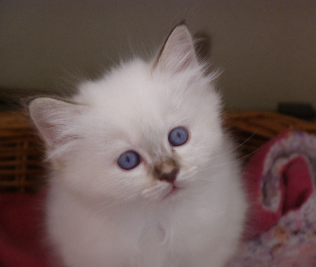 ***** Top Quality Birman Babies *****
